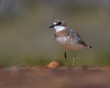 Lesser Sand Plover, Boonooroo, QLD, March 2017-2