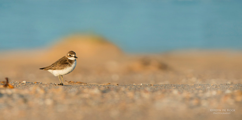 Lesser Sandplover, Lake Wollumboola, NSW, Jan 2015