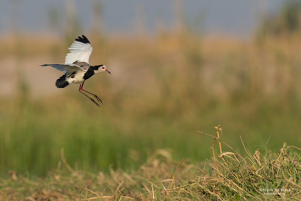 Long-toed Lapwing, Chobe River, NAM, Oct 2016-3