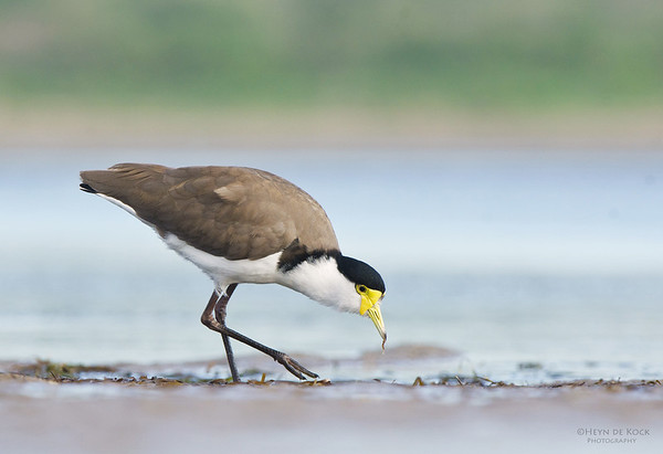 Masked Lapwing, Shoalhaven Heads, NSW, March 2012