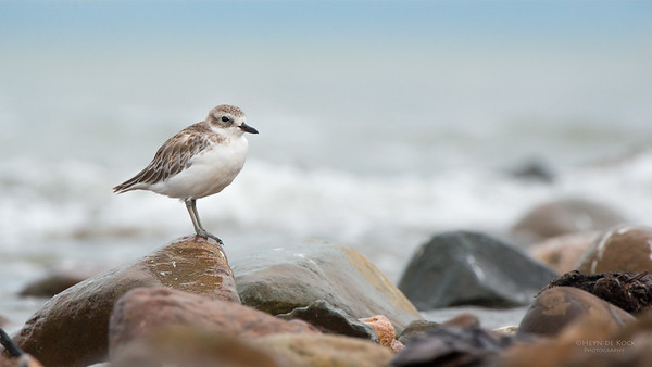 New Zealand Plover, Thames, NI, NZ, March 2015