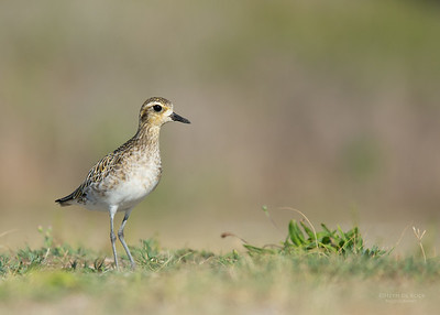 Pacific Golden Plover, Lady Elliot Island, QLD, Dec 2015-3
