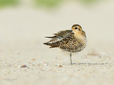 Pacific Golden Plover, Shoalhaven Heads, NSW, April 2015-4