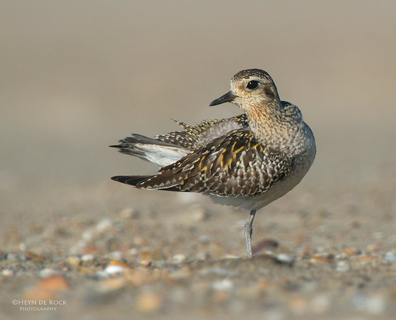 Pacific Golden-plover, Shoalhaven Heads, NSW, Nov 2012-3
