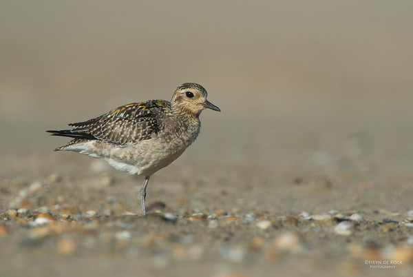 Pacific Golden-plover, Shoalhaven Heads, NSW, Nov 2012-1