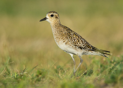 Pacific Golden Plover, Lady Elliot Island, QLD, Dec 2015-1