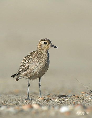 Pacific Golden-plover, Shoalhaven Heads, NSW, Nov 2012-2
