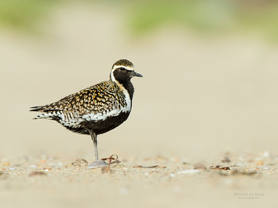 Pacific Golden Plover, Shoalhaven Heads, NSW, April 2015-6