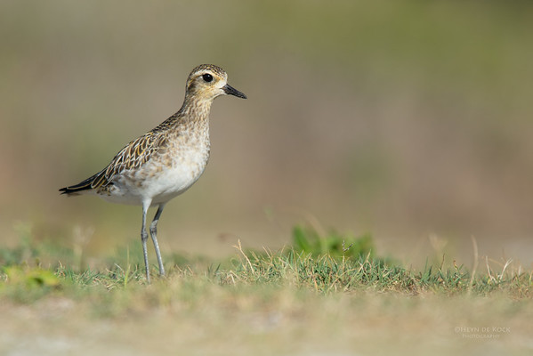 Pacific Golden Plover, Lady Elliot Island, QLD, Dec 2015-2
