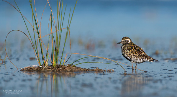 Pacific Golden-plover, Shoalhaven Heads, NSW, March 2013-2