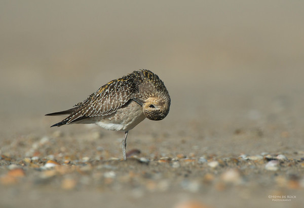 Pacific Golden-plover, Shoalhaven Heads, NSW, Nov 2012-4