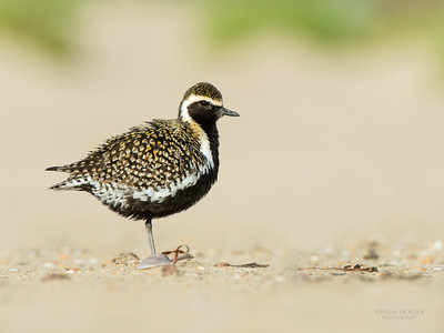 Pacific Golden Plover, Shoalhaven Heads, NSW, April 2015-8