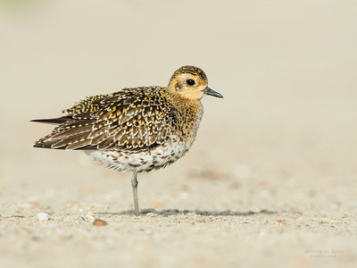 Pacific Golden Plover, Shoalhaven Heads, NSW, April 2015-3