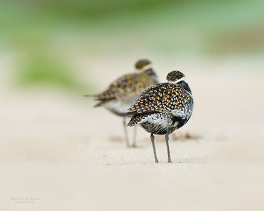 Pacific Golden Plover, Shoalhaven Heads, NSW, April 2015-5