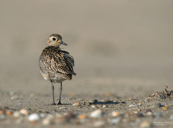 Pacific Golden-plover, Shoalhaven Heads, NSW, Nov 2012