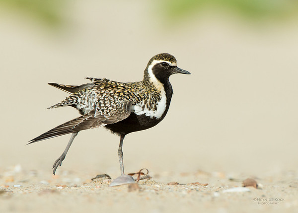 Pacific Golden Plover, Shoalhaven Heads, NSW, April 2015-1
