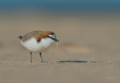 Red-capped Plover, Lake Conjola, NSW, Aus, Sept 2013-3