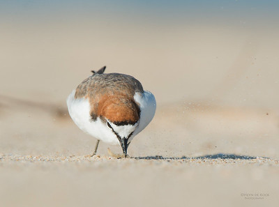 Red-capped Plover, Lake Conjola, NSW, Aus, Sept 2013-1