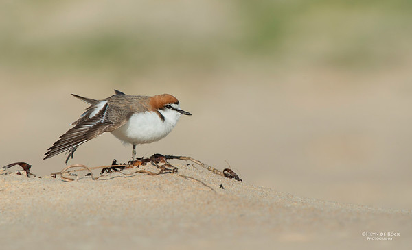 Red-capped Plover, Lake Conjola, NSW, Aus, Sept 2013-5