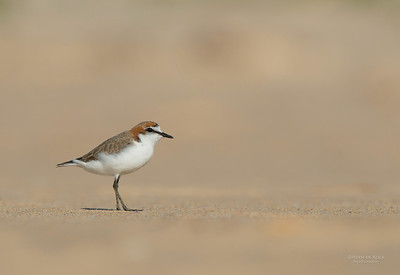 Red-capped Plover, Lake Conjola, NSW, Aus, Sept 2013-2