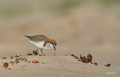 Red-capped Plover, Lake Conjola, NSW, Aus, Sept 2013-4a