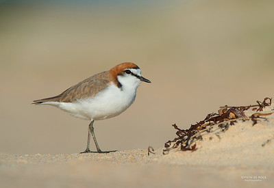 Red-capped Plover, Lake Conjola, NSW, Aus, Sept 2013-4