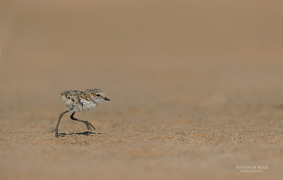 Red-capped Plover, chick, Lake Wolumboola, NSW, Aus, Jan 2014