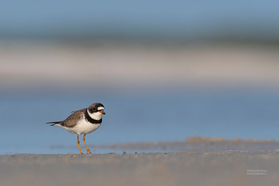 Semipalmated Plover, Fort De Soto, St Petersburg, FL, USA, May 2018-6
