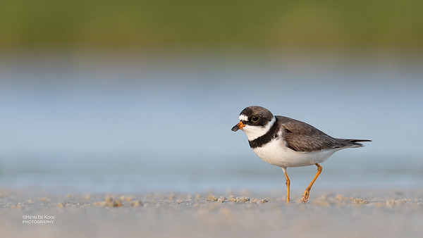 Semipalmated Plover, Fort De Soto, St Petersburg, FL, USA, May 2018-4