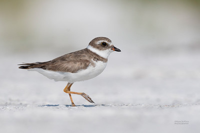 Semipalmated Plover, Fort De Soto, St Petersburg, FL, USA, May 2018-1