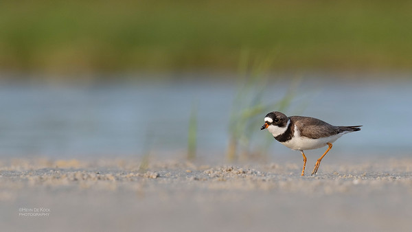 Semipalmated Plover, Fort De Soto, St Petersburg, FL, USA, May 2018-7