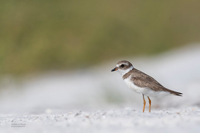 Semipalmated Plover, Fort De Soto, St Petersburg, FL, USA, May 2018-2