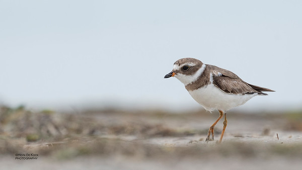 Semipalmated Plover, Fort De Soto, St Petersburg, FL, USA, May 2018-3