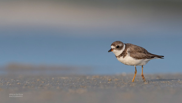 Semipalmated Plover, Fort De Soto, St Petersburg, FL, USA, May 2018-5