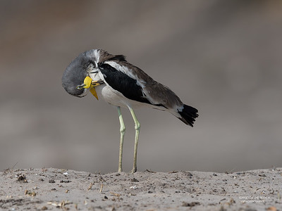 White-crowned Lapwing, Chobe River, NAM, Oct 2016-4