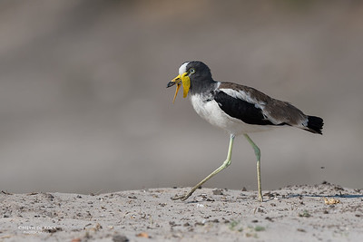 White-crowned Lapwing, Chobe River, NAM, Oct 2016-3