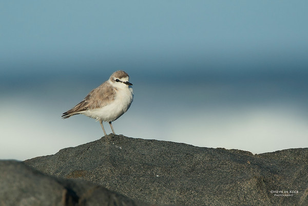 White-fronted Plover, West Coast NP, WC, SA, Jan 2014