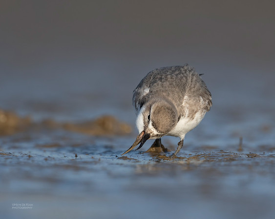 Wrybill, Christchurch, SI, NZ, Sep 2018-2