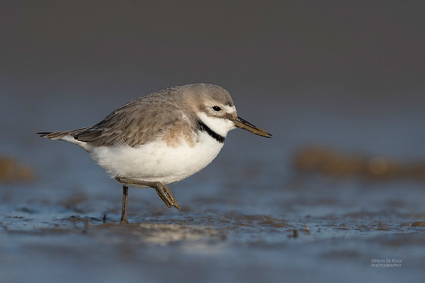 Wrybill, Christchurch, SI, NZ, Sep 2018-3