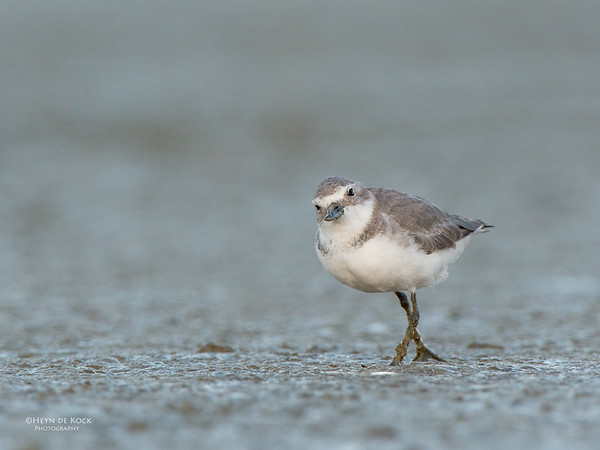 Wrybill, Miranda, NI, NZ, March 2015-1