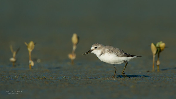 Wrybill, Miranda, NI, NZ, March 2015-10
