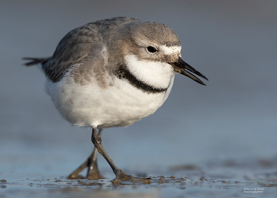 Wrybill, Christchurch, SI, NZ, Sep 2018-10