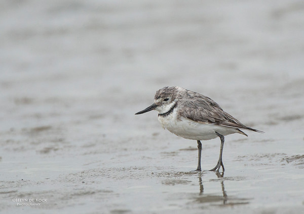 Wrybill, Ashley Inlet, SI, NZ, Jan 2013
