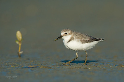 Wrybill, Miranda, NI, NZ, March 2015-6