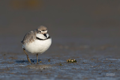 Wrybill, Christchurch, SI, NZ, Sep 2018-8