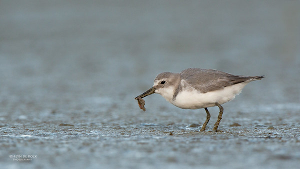 Wrybill, Miranda, NI, NZ, March 2015