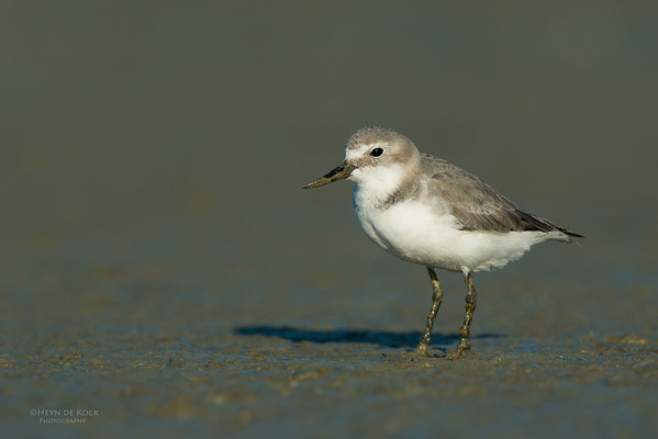 Wrybill, Miranda, NI, NZ, March 2015-8