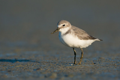 Wrybill, Miranda, NI, NZ, March 2015-5