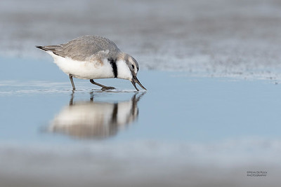 Wrybill, Christchurch, SI, NZ, Sep 2018-1