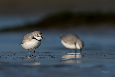Wrybill, Christchurch, SI, NZ, Sep 2018-7